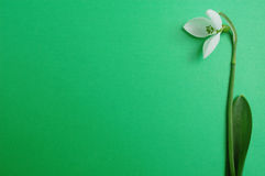 Snowdrop on green background stock photos