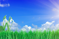 Snowdrop, Green Grass and Blue Sky Stock Photography