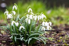Snowdrop growing on ground. Snowdrop growing on the ground stock images