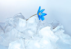 Snowdrop, growing from ice Royalty Free Stock Images