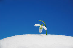 Snowdrop growing in snow Royalty Free Stock Image