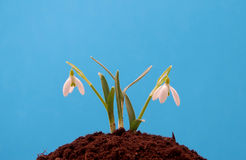 Snowdrop grown in soil Stock Photography