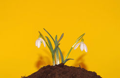 Snowdrop grown in soil with shade Stock Photos