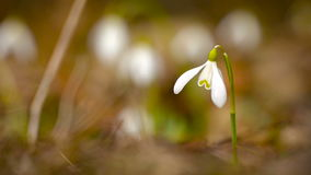 Snowdrop grows in grass stock video footage