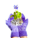 Snowdrop in hands Stock Photography