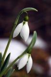 Snowdrop hermoso Foto de archivo