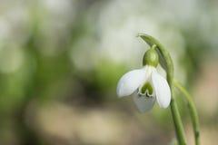 Snowdrop hermoso en fondo del bokeh del macizo de flores imagenes de archivo