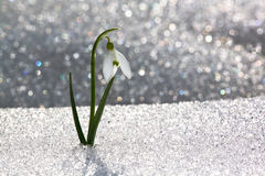Snowdrop i snow arkivfoton