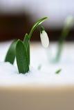 Snowdrop i snow Arkivfoto