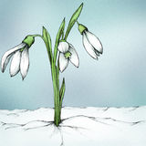 Snowdrop. Illustration of a snowdrop plant in the snow Stock Photos