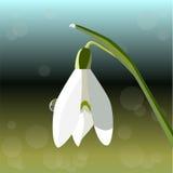 Snowdrop.  illustration Royalty Free Stock Photography