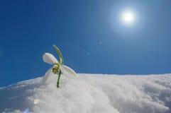 Snowdrop im Schnee Lizenzfreie Stockfotos