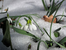Snowdrop In Snow Stock Images