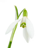 Snowdrop isolated Royalty Free Stock Image
