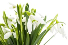 Snowdrop isolated Stock Image