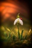 Snowdrop and ladybug Stock Image