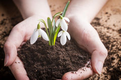 Snowdrop. Royalty Free Stock Images