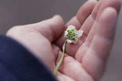A snowdrop in a man hand. A snowdrop in a man`s hand Stock Photos