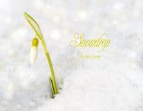 Snowdrop mit bokeh. Stockfoto