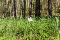 Snowdrop na floresta Fotografia de Stock