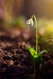 Snowdrop na luz solar Imagem de Stock Royalty Free
