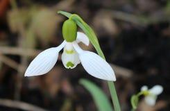 Snowdrop na mola adiantada, flor branca imagem de stock