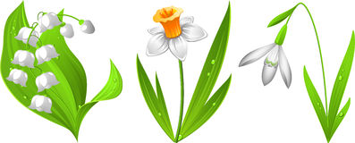 Snowdrop, narcissus, lily of the valley. Vector illustration of spring flowers: snowdrop, narcissus, lily of the valley. EPS 8 Royalty Free Stock Photography