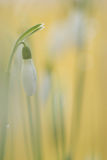 Snowdrop. In nature close up stock photo