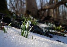Snowdrop Fotografia Stock Libera da Diritti