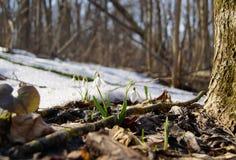 Snowdrop Immagini Stock