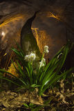 Snowdrop in the night Royalty Free Stock Photo