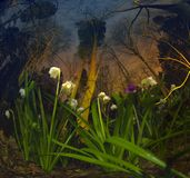 Snowdrop in the night Stock Photos