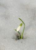 Snowdrop och snow Royaltyfria Foton
