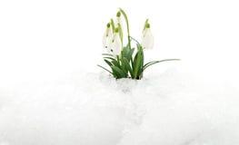Snowdrop och Snow Royaltyfri Fotografi