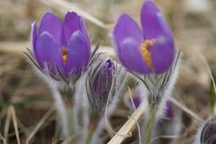 Snowdrop pôs em perigo flores de março da mola da proposta primeiras, close-up Fotografia de Stock