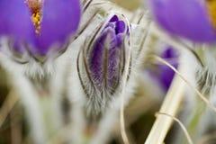 Snowdrop pôs em perigo flores de março da mola da proposta primeiras, close-up Imagens de Stock