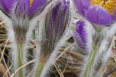 Snowdrop pôs em perigo flores de março da mola da proposta primeiras, close-up Imagem de Stock