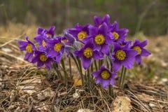 Snowdrop Pasque-flor Foto de archivo libre de regalías