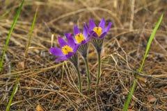 Snowdrop Pasque-flor Imagenes de archivo