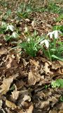 Snowdrop patch in woodland Royalty Free Stock Photography