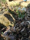 Snowdrop, pedra, folhas e grama imagens de stock