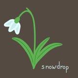 Snowdrop plant illustration Stock Photo
