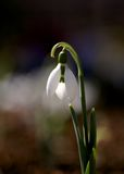 A snowdrop Royalty Free Stock Photo