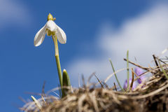 Snowdrop profiled on blue sky Stock Image