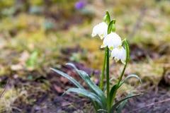 Snowdrop que crece en la tierra imagen de archivo