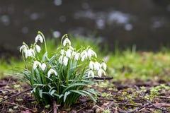 Snowdrop que crece en la tierra fotos de archivo