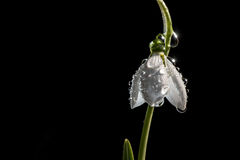 Snowdrop in the rain. Snowdrop spring in the rain and shining light Royalty Free Stock Photography