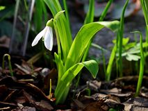 The snowdrop. It's the first flower of spring Stock Image