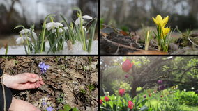 Snowdrop saffron violet and tulip flowers. Video clips collage stock video footage