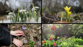 Snowdrop saffron violet and tulip flowers. Video clips collage stock video